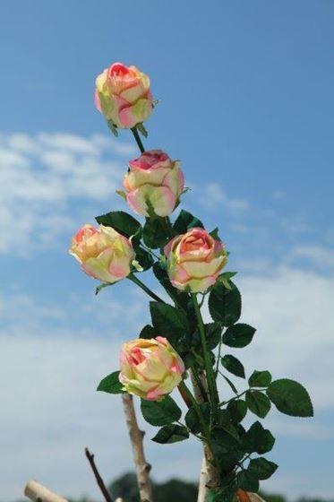 """Immagine di Bocciolo rosa """"AIDA"""", h.90cm creme/rosa"""